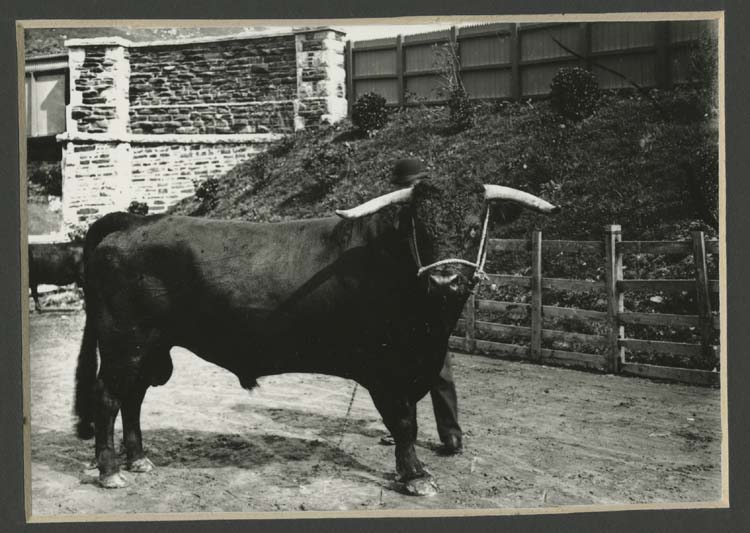 Black Welsh bull