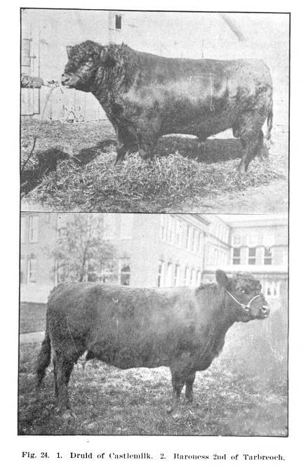 Galloway bull, Druid of Castlemilk, Galloway cow, Baroness 2nd of Tarbeoch