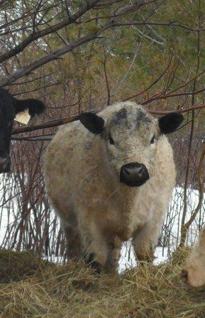 IVAN, WHITE GALLOWAY BRED BY DICK COMPTON IN OVID, NY