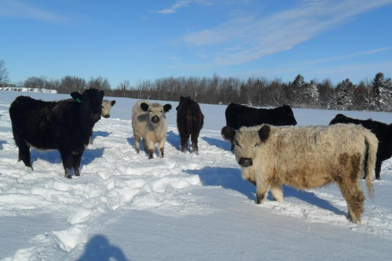 White Galloway and Blue Roan heifers