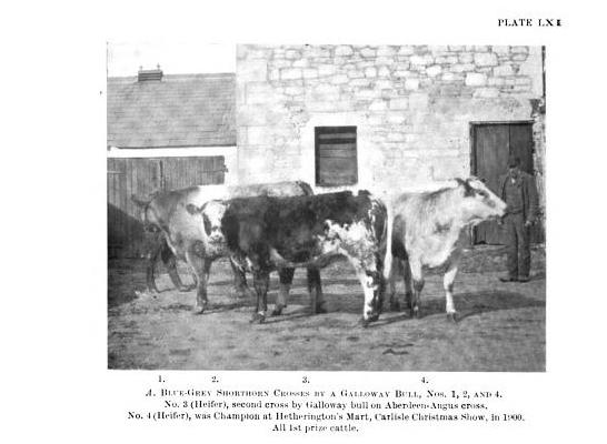 BLUE-GREY SHORTHORN CROSSES