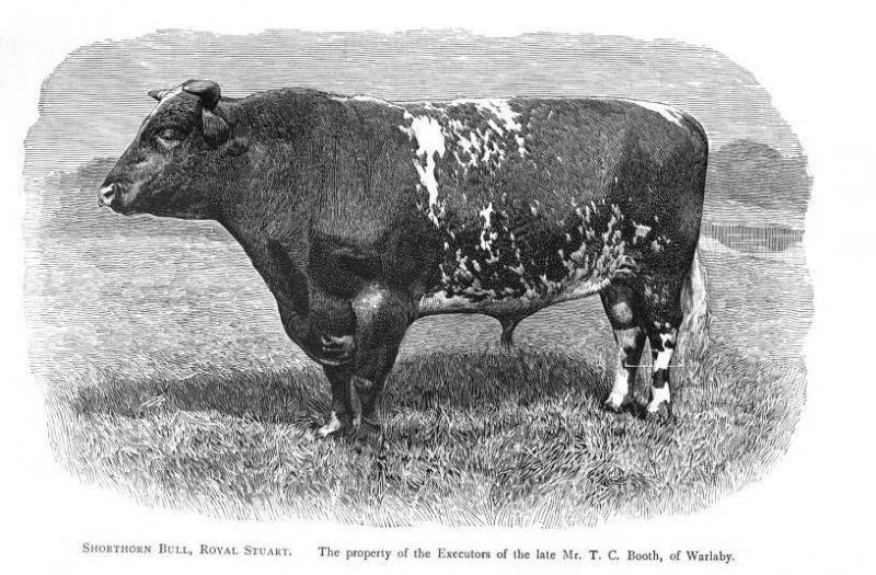 Booth Shorthorn Bull, Royal Stuart