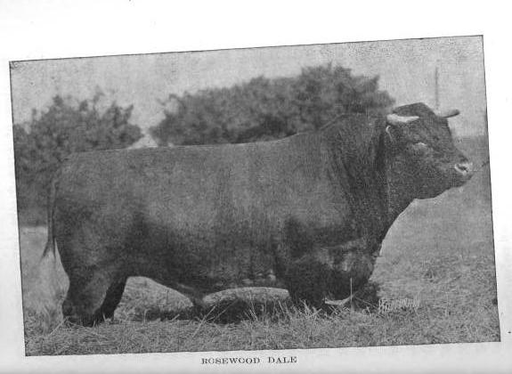 shorthorn, Rosewood Dale