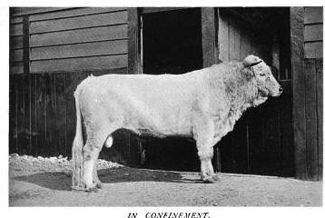 Wild White Bull of Chartley Herd in confinement