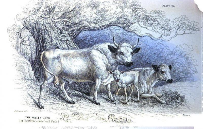 Hamilton breed of White Cattle
