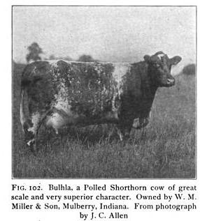 shorthorn cow of superior character