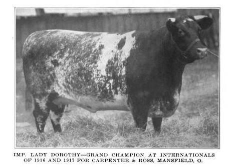 Shorthorn cow, Imp.Lady Dorothy