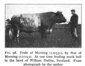 Scotch Shorthorn Bull, Pride of Morning