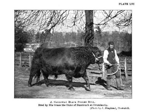 Galloway Black Polled Bull, nineteenth century