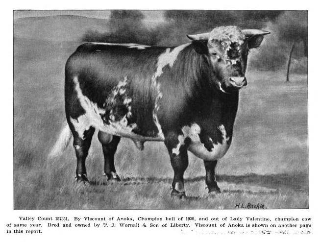 Shorthorn bull, Valley Count by Viscount of Anoka, 1900