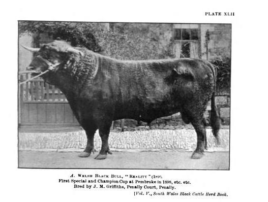 Welsh Black Bull, Reality, 1898