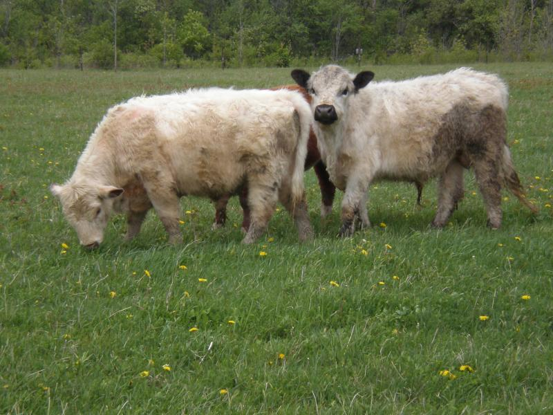 white galloway and scotch type shorthorn young bulls