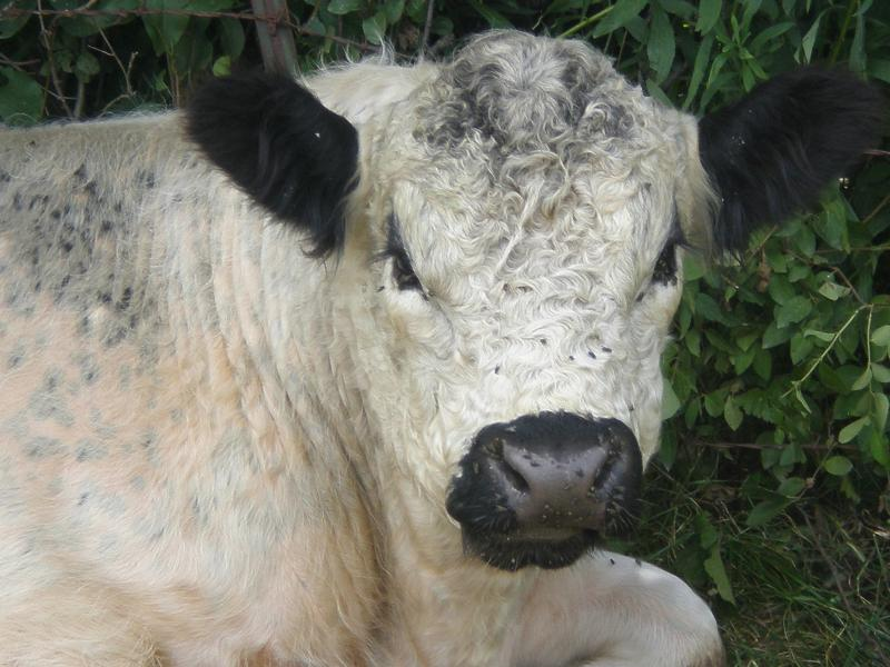 white galloway