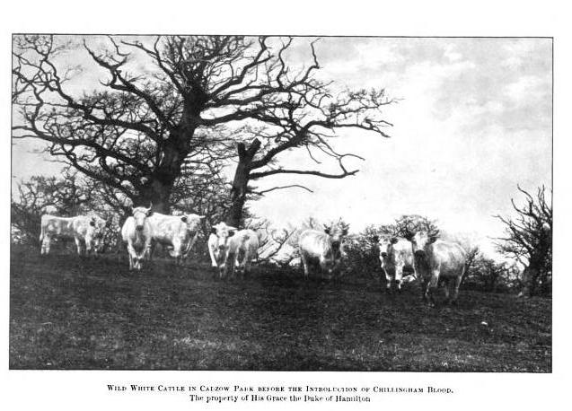 Wild White cattle in Cadzow Park, Scotland