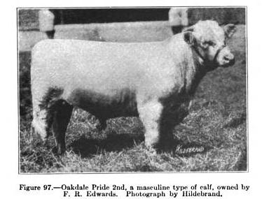 Shorthorn calf, Oakdale Pride 2nd